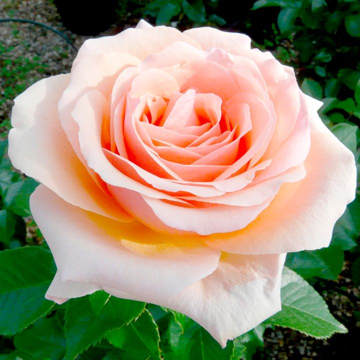 """""""Lynda Bellingham"""" - hybrid tea rose - It has large flowers, mid green glossy leaves and a spicy perfume on a strong compact bush."""