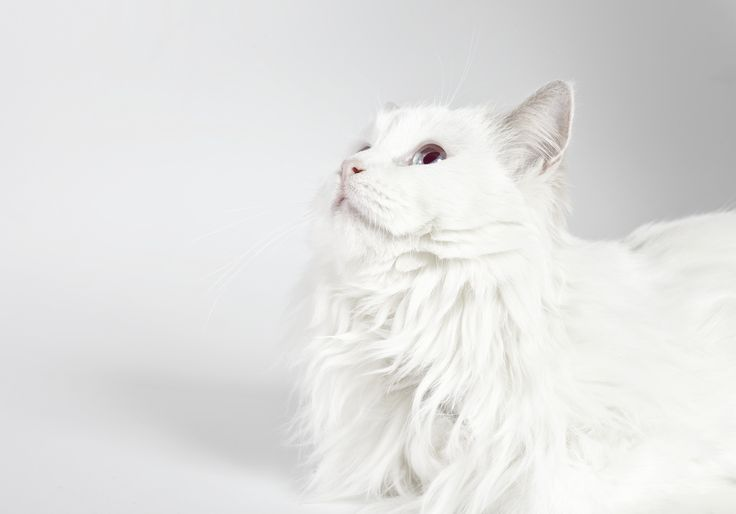 la preciosa gatita blanca de ojos azules. SIZEPHOTO, fotógrafo barcelona, Ernest Brugué