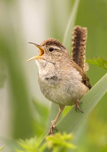 Little Wren, Third smallest bird in the uk, but probably one of the loudest. Wonderful.