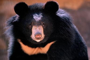 Asian Black Bear: The Bears of Asia and Russia's Far East: The Asian black bear - <i>Ursus thibetanus</i>