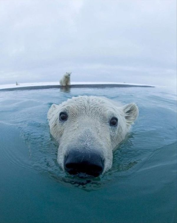 Polar bear. Big nose little eyes. Cute