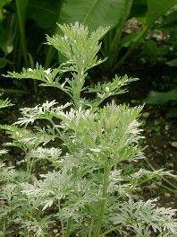 Der Wermut ist mit seinen graufilzigen Blättern und dem herbwürzigen Duft, den…