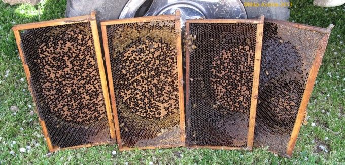 Here is the Brood Pattern from a colony with EFB.  A brood pattern like this is a very good indicator that EFB was present within the past few weeks.  Hygienic bees will remove sick larvae very fast making it hard to diagnose EFB or detect what is wrong with the hive.