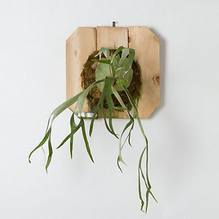 Mounted Staghorn Fern, Large