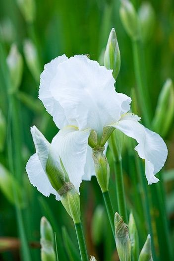 White Bearded Iris at least six hours of sunlight per day. A full day of sun is even better. Do not mulch. Mulching retains moisture, and too much moisture will cause soft rot of the rhizomes.
