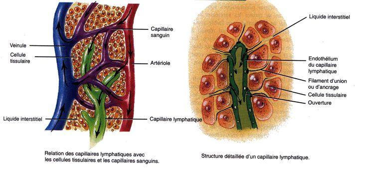 Anatomie du système lymphatique Rôle du système lymphatique Fonctionnement et physiologie du système lymphatique Fabrication de la lymphe Anatomie du système lymphatique Le système lymphatique est un « circuit » assez complexe, constitués de l'ensemble des vaisseaux et ganglions lymphatiques mais également d'organes y jouant un rôle important tels que la rate, le thymus, le cercle lymphoïde de Waldeyer, les amygdales pharyngées, laryngées, linguales et palatines et le MALT (Tissu Lym...