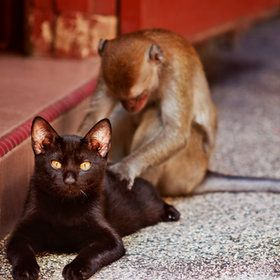 : Animals, Friends, Black Cats, Pet, Thai Massage, Funny, Monkey Massage, Photo, Kitty