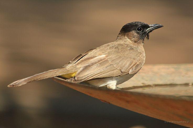 Bilbil okopcony - Dark-capped Bulbul - Malawi    www.szczytyafryki.pl    #Malawi #Ptaki #Afryka #Africanbirds