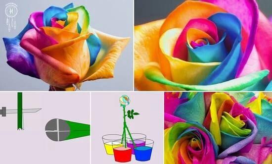 Je kan je bloemen kleuren door in de stengel 4 insnijdingen te maken en deze te verdelen over 4 kleuren water. Je kan het water kleuren met bv. voedingskleur of crepepapier.