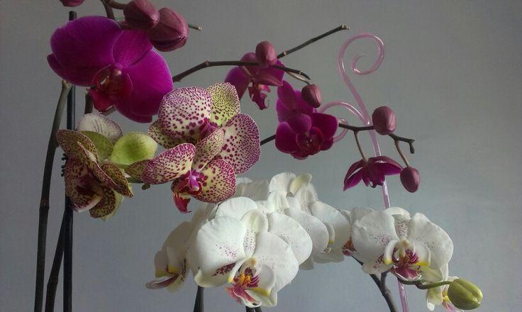 Nyílnak a kicsikéim orchid