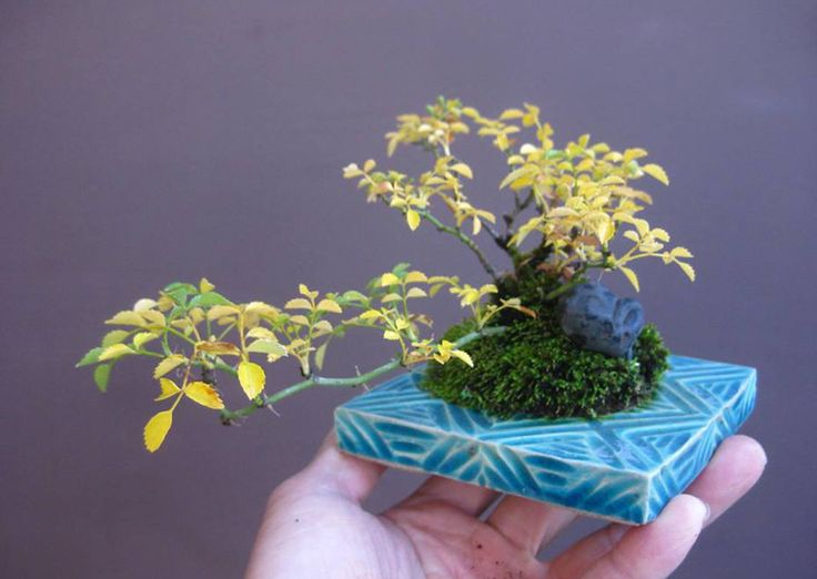1000 images about mini bonsai 2 on pinterest maple. Black Bedroom Furniture Sets. Home Design Ideas