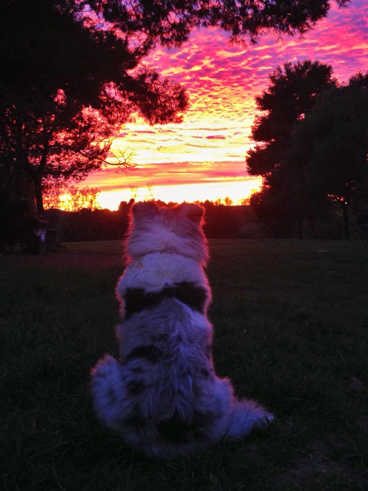 Blu Merle Rough Collie puppy and a sunset