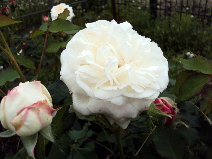 Historische Rose Boule de Neige - Züchter Lacharme 1867