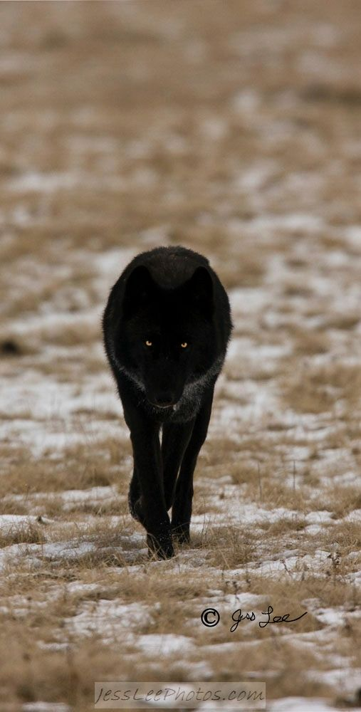 Stalker-first encounter\nThis young Black wolf approaches assuming his stalking stance.\nWhile a large wolf is not normally a threat to humans they can take on a frightening appearance.\nI encounters this beautiful specimen while photographing other subjects with a large telephoto lens.