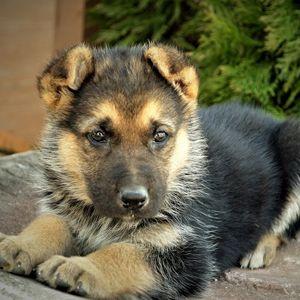 #Purebred #German #Shepherd Puppies for Sale