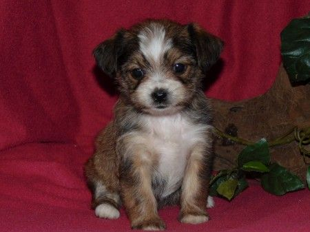Shorkie Tzu puppy for sale in HARTFORD, AR. ADN-38332 on PuppyFinder.com Gender: Female. Age: 6 Weeks Old