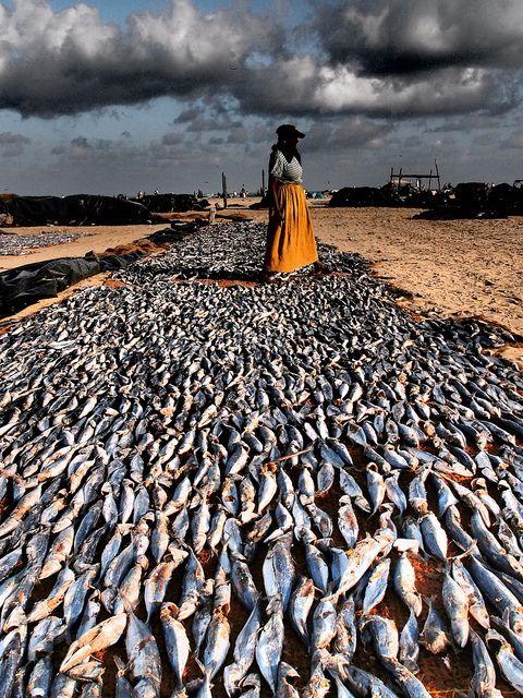 Sri Lanka Negombo Beach Fish Drying   by colsteel