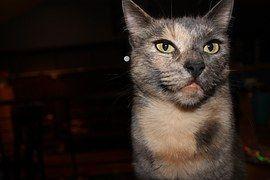Katze, Wütend, Schildpatt, Häuslich