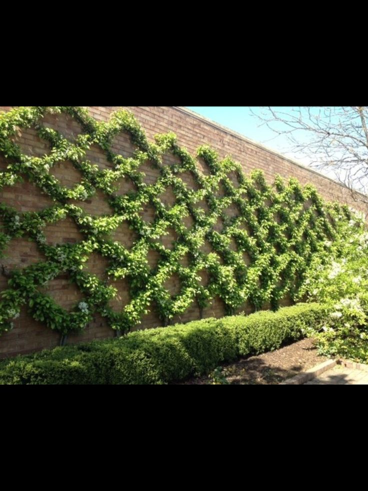 Espaliered Crab Apple Trees On A Brick Wall   Delight By Design: Garden  Variety Inspiration
