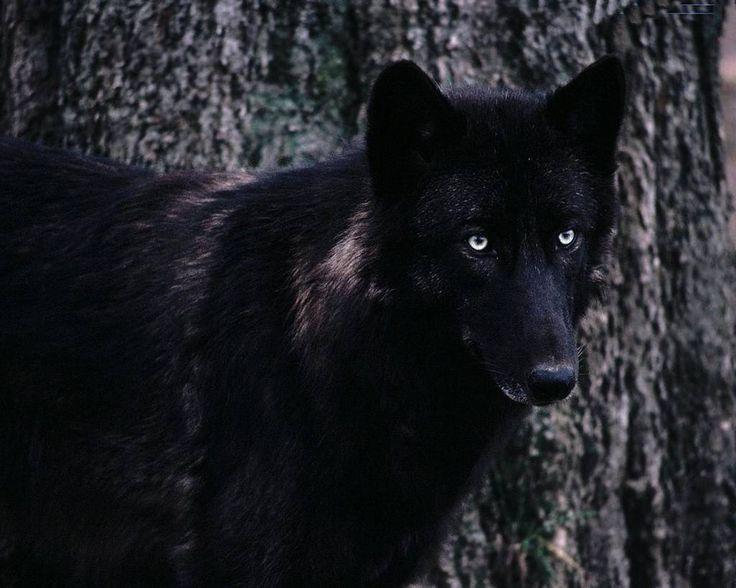 lupo nero (3)