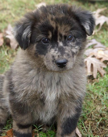 Angel the chow/border collie mix