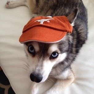 (They're into college sports too, of course.)Annnnd a Longhorns fandog! | 17 Reasons Alaskan Klee Kai Are The Absolute Cutest