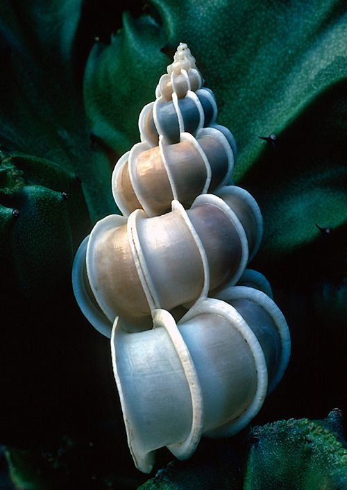 Spiral shell, blue and pearl hues!  ♥ ♥ www.paintingyouwithwords.com