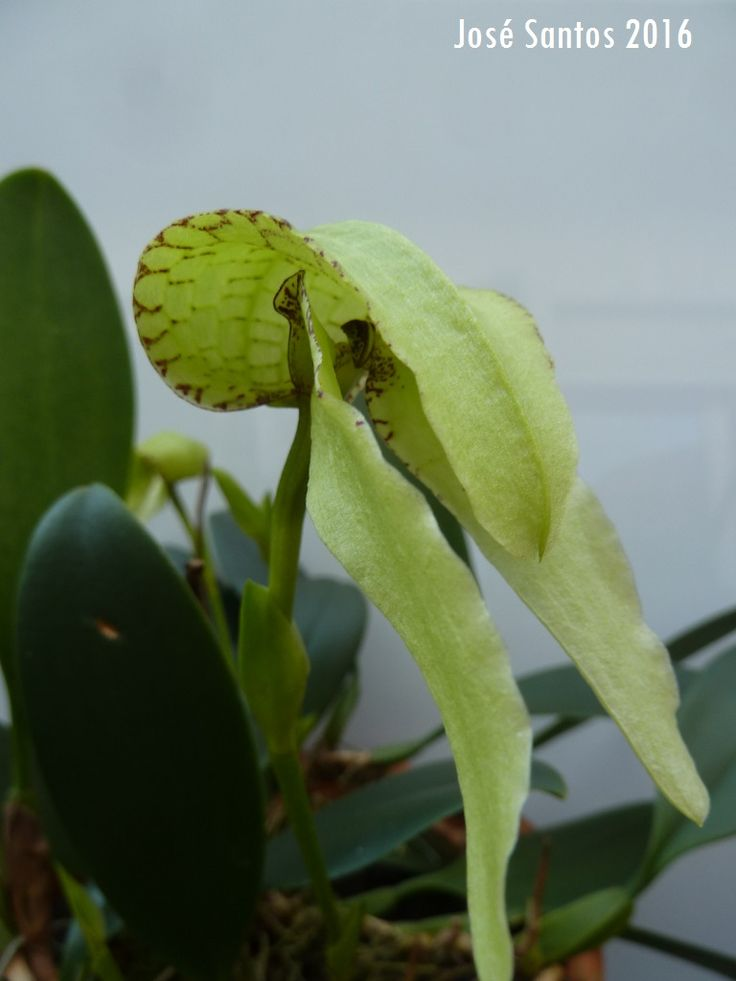Bulbophyllum arfakianum alba, de José Santos