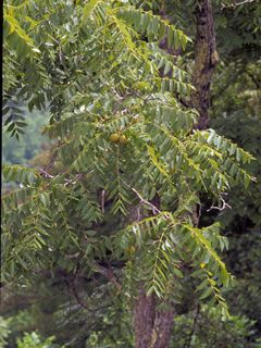 Uses a ton of water. Maybe one day... In the lowlands...Juglans nigra (Black walnut)