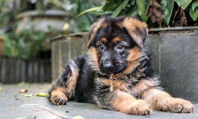 Mini German Shepherd Is It The Right Dog For You Miniature German Shepherd German Shepherd Breeds German Shepherd Puppies