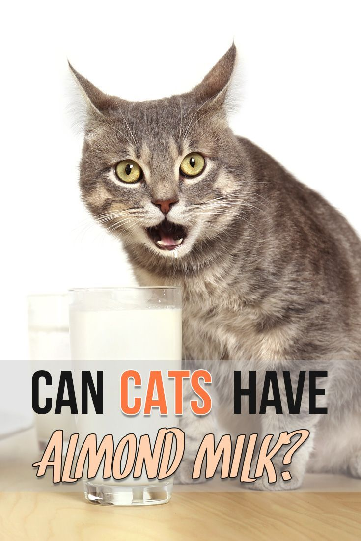Learn Can Your Kitty Eat Almond Milk What Cats Can Eat Cats Cat Drinking