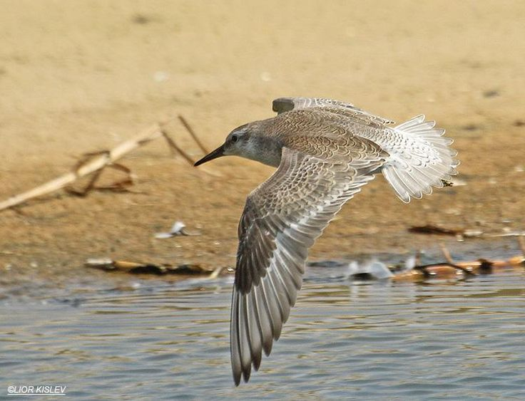 Red Knot (Calidris canutus) in flight