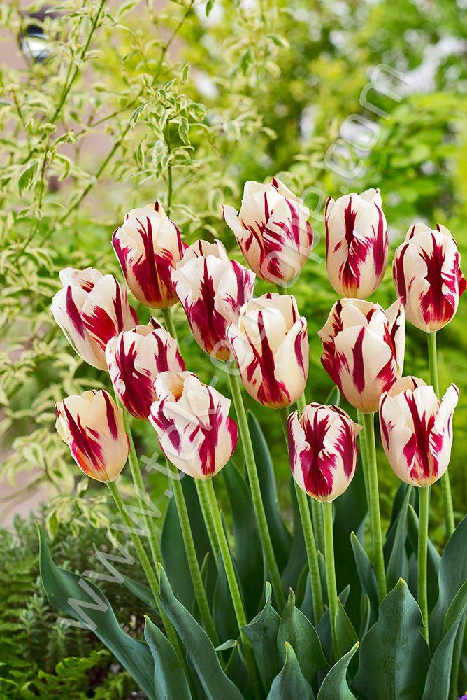 Za Pomoca Kwiatow Mozna Powiedziec Wiecej Niz Nam Sie Wydaje Zolte Tulipany Oznaczaja Radosc Czerwone Doskonala Milosc A Pomaranczowe Moc Entuzjazm P Plants
