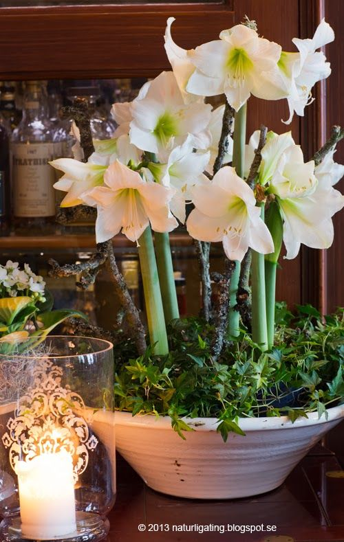 17 best ideas about winter flowers on pinterest winter for Amaryllis deco
