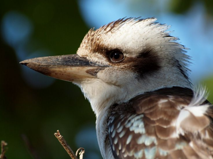 Laughing kookaburra - Photo by Will Taylor