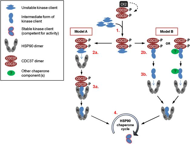 Models for the mechanism of action of CDC37 in the chaperoning of kinase clients. Two models are proposed for the role of CDC37 in the chaperoning of kinase client proteins. Model A involves CDC37 directly binding to HSP90, thereby bringing kinase clients to the chaperone complex whereas Model B involves CDC37 altering kinases to promote their interaction with the chaperone complex as detailed in the numbered steps below.