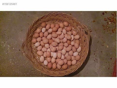 Köy Yumurtası - Köy Tavuğu - Organik Yumurta: Köy yumurtasi sparisi verin