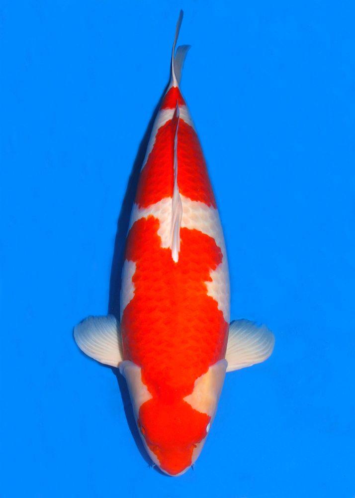 33 best huge koi fish for sale images on pinterest koi for Big fish ponds for sale