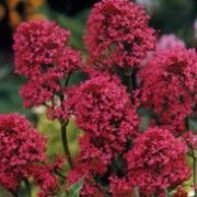 Centranthus ruber.  Suitable for Living Wall Wildlife Loving Plant. Click image to get care advice.     Other names: Red valerian, Spanish valerian, Spur valerian, Jupiter's beard, Kiss-me-quick, Pretty betsy, Fox's brush, German lilac    Genus: Centranthus    Species: C. ruber - C. ruber has grey-green leaves and clusters of red, pink or white, slightly fragrant flowers.