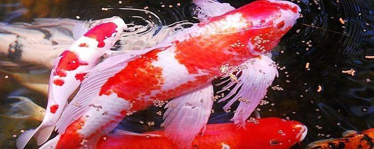 82 best images about koi koi koi on pinterest japanese for Live japanese koi fish for sale