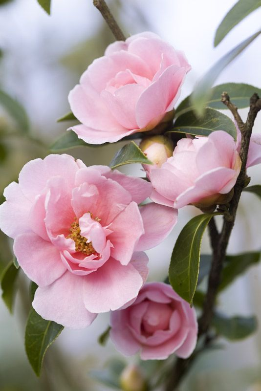 Camellia California Dawn I love soft pink camellias ..... it`s the waxy deep green leaves that juxtapose the soft pink - nature, it`s perfect!  Surprise, surprise!