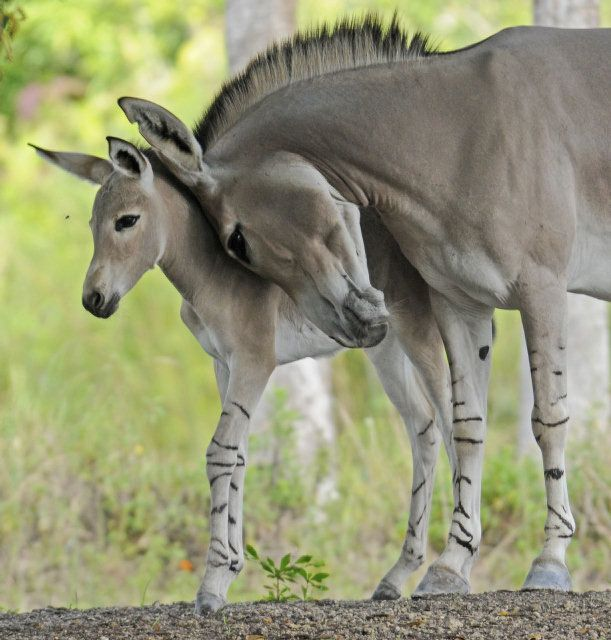 Rare Somali Wild Ass Is Born At Miami Zoo | Simply Marvelous Horse World