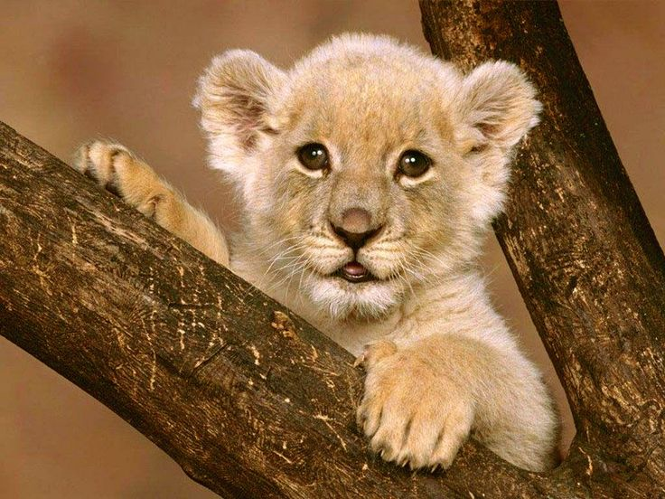 Kathryn's Wild Animals: Life Cycle of Lion Cubs