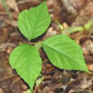 Pictures of Poison Ivy: Pictures of Poison Ivy -- Leaves of Three, Let It Be