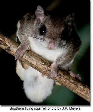 Northern Flying Squirrel - Game Commission