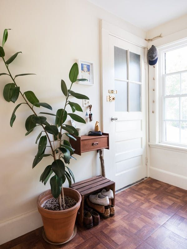 In recent years, the ubiquitous fiddle leaf fig has dominated all other entrants in the competition for most popular in-house tree-like plants