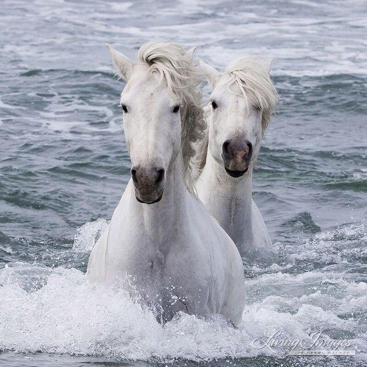 Beautiful White Camargue Horses