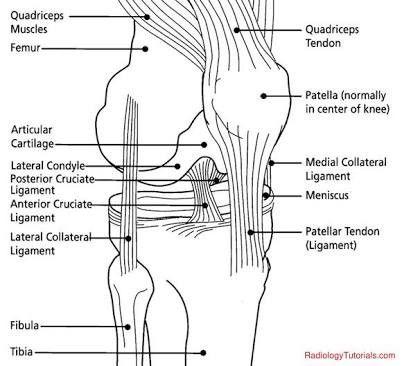 Knee tendon anatomy