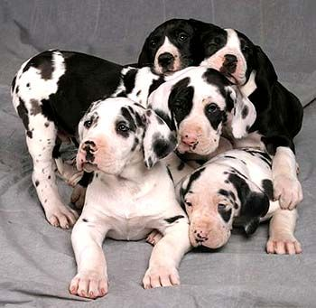 Sweet, precious babies! Harlequin great dane puppy... gentle giants :)