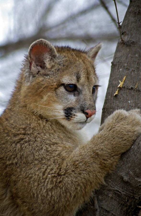 cougar young